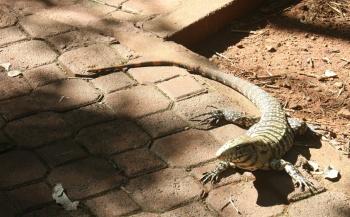Argentina - Iguazú - Lizard