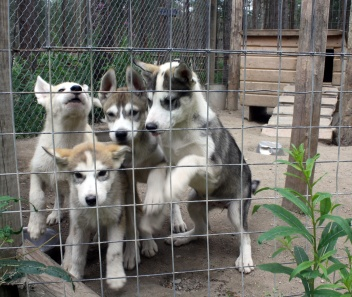 Group of husky puppies