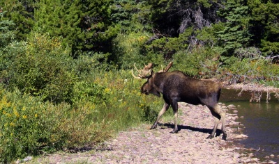 Bull moose, Glacier National Park