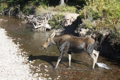Female moose, Glacier National Park