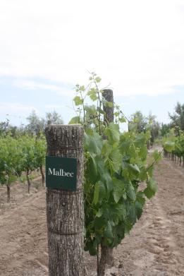 Malbec grape vines, Mendoza, Argentina