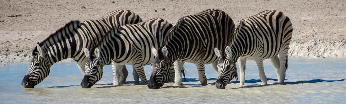 Zebras, Ethosa National Park, Namibia