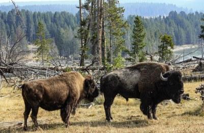 Buffaloes, Yellowstone National Park
