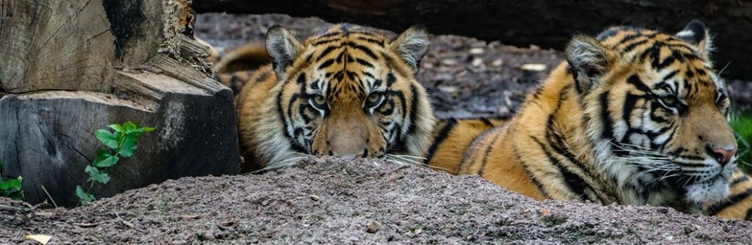 Tigers in Topeka Zoo, Gage Park, Topeka, Kansas