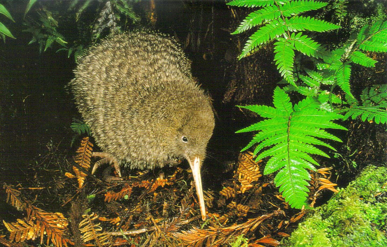 New Zealand_Pukaha_Kiwi